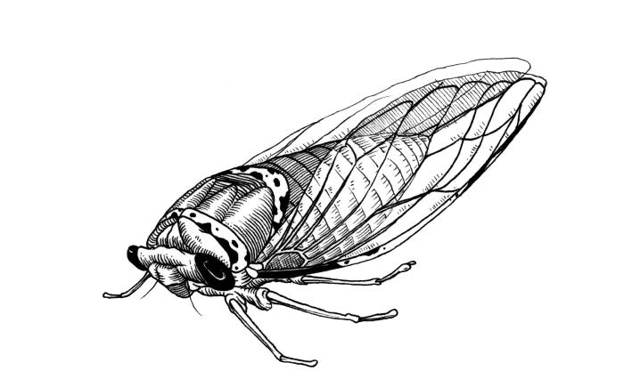 cicada givaway
